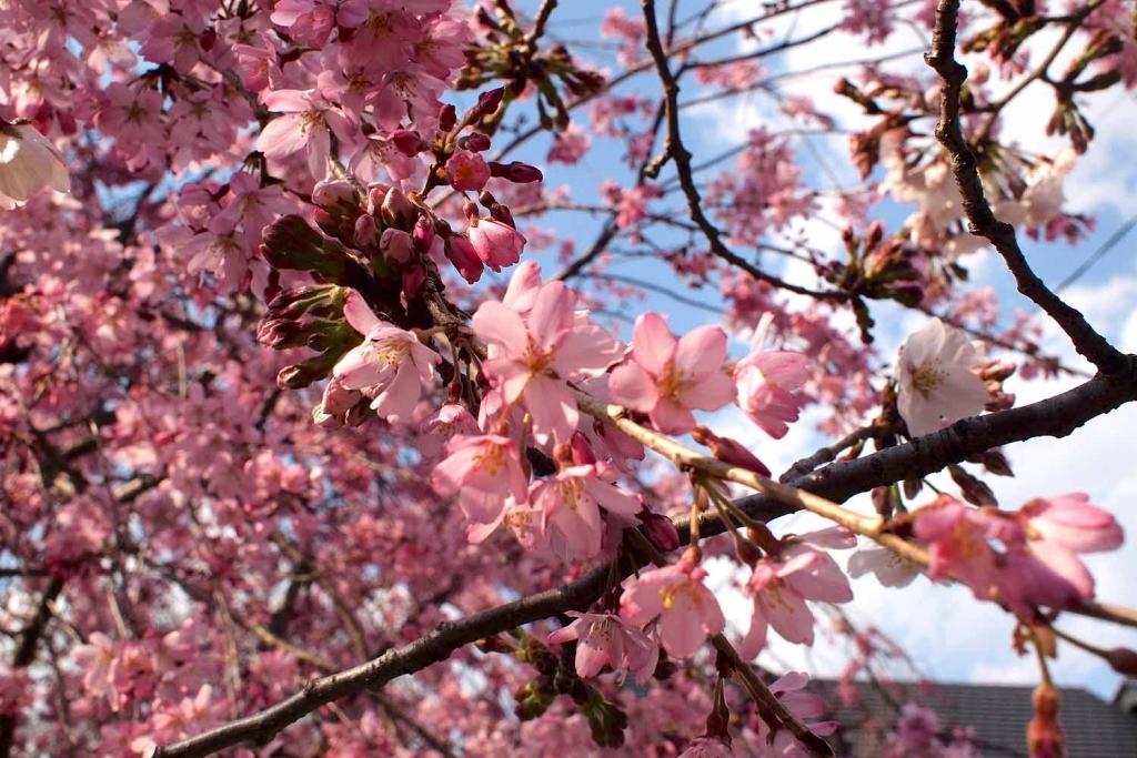 五条川,花見,桜