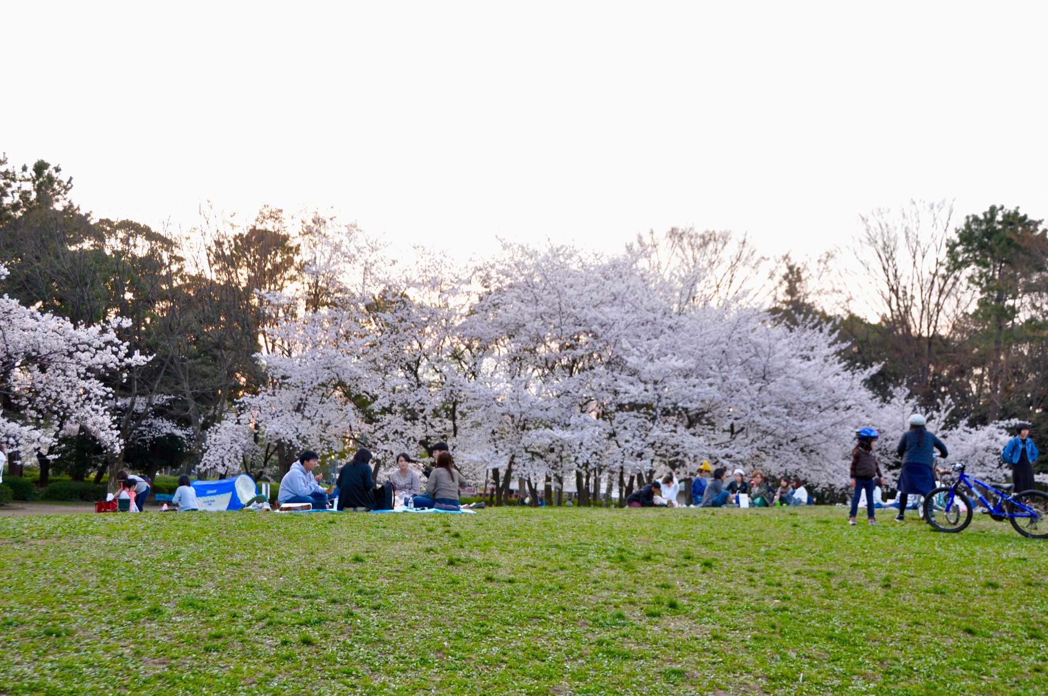 名城公園,花見,桜